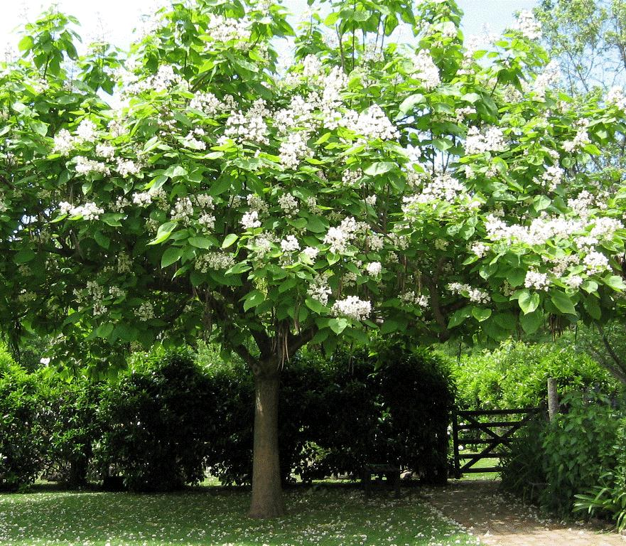 5 arbori ornamentali care dau culoare gr dinii indiferent for Arboles frutales para el jardin
