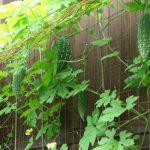 planta agatatoare