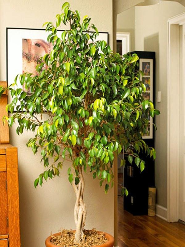 Plante decorative care aduc ghinion acas casoteca for Plante decorative