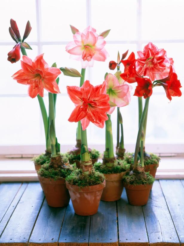 Amaryllis sau crinul de cameră este o altă floare pe care trebuie să o ai în casă de Crăciun.
