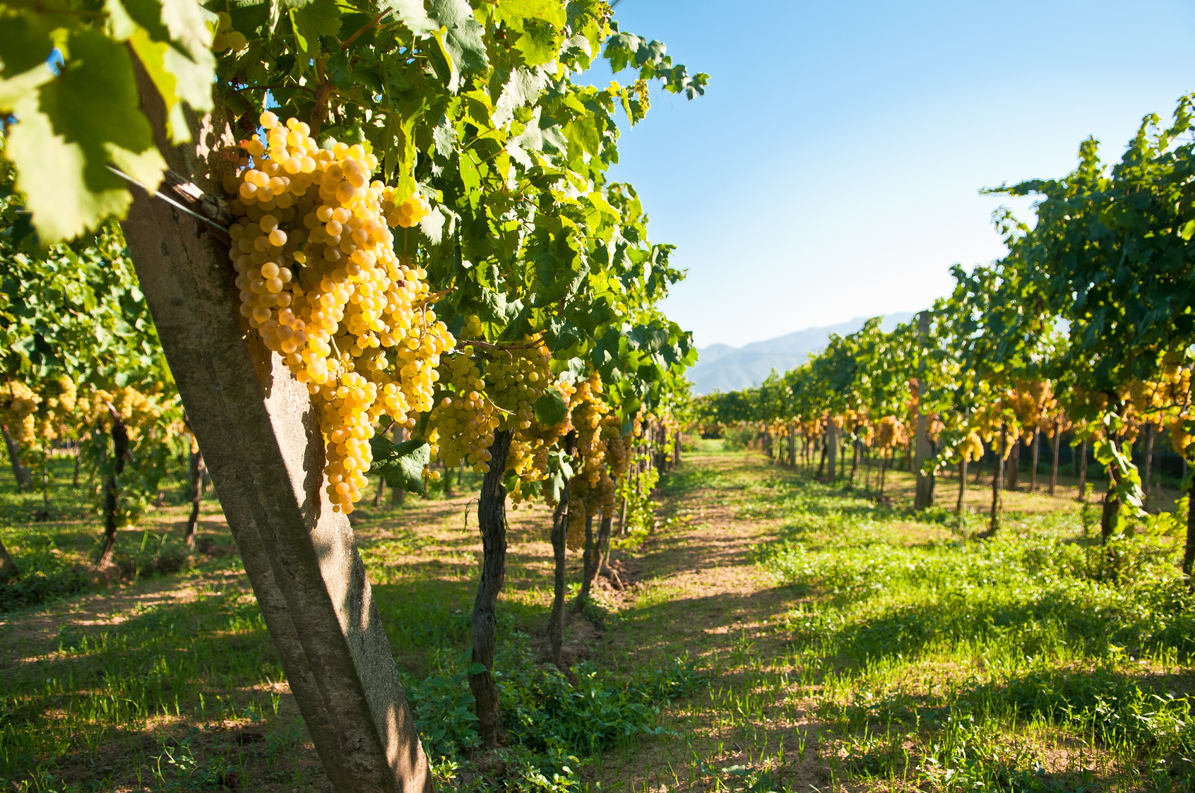 Green grapes ready for harvest in a italian vineyard