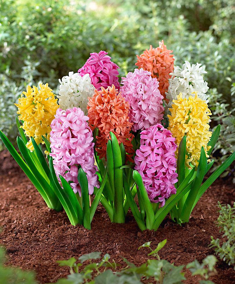 Zambila Floarea Care ți Face Primăvara Mai Frumoasă