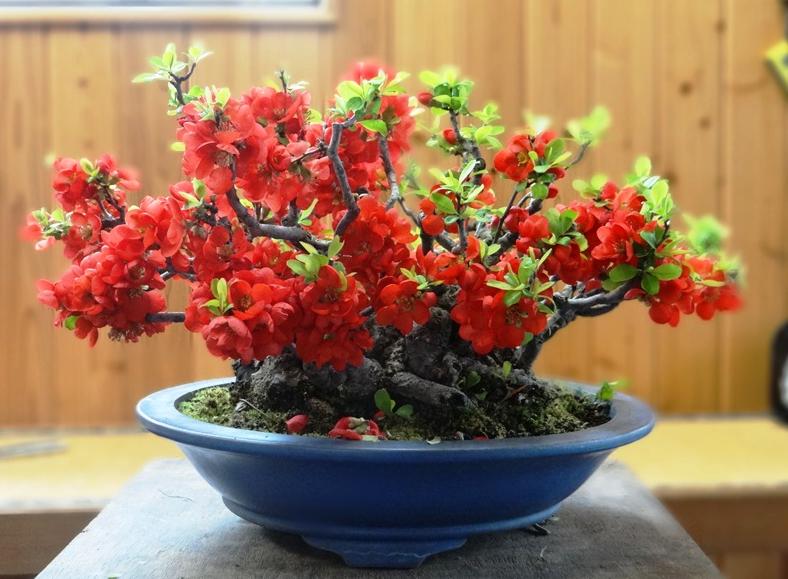 gutui japonez bonsai