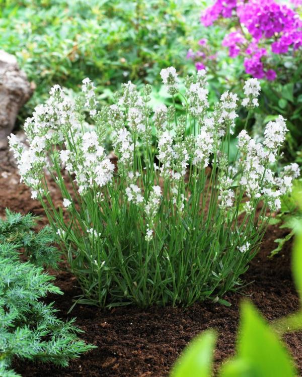 Lavandula angustifolia White Horse ®