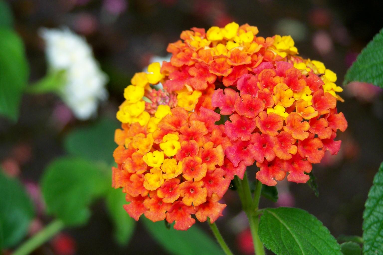 5 plante obişnuite care sunt otrăvitoare