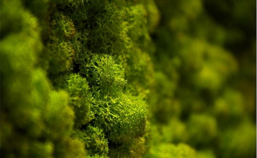Panourile cu licheni decorativi sunt la modă