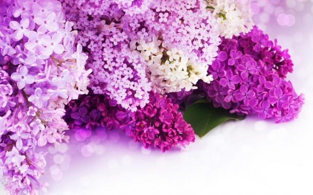 liliac-flori-petale