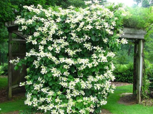 Plante cățărătoare pentru terasă și grădină