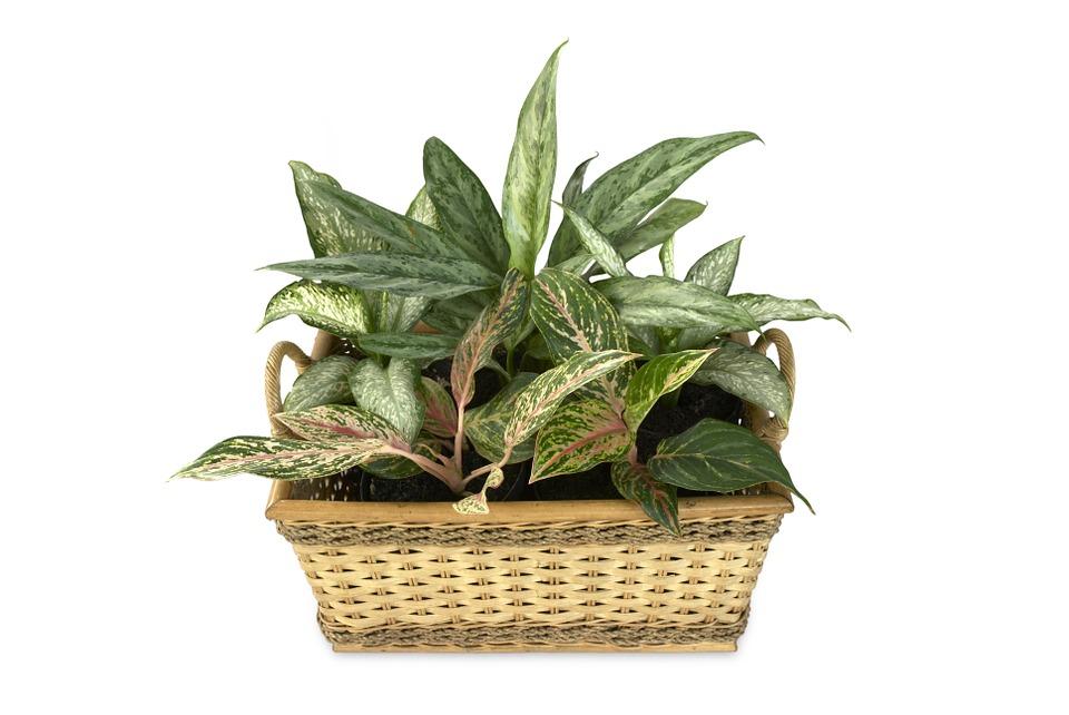 Fabricile de oxigen din casă: plante pentru aer curat