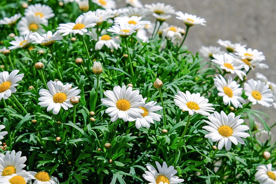 Cum să foloseşti corect aspirina pentru plante sănătoase