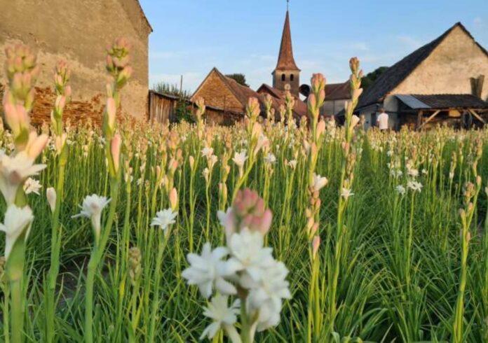 Tuberoza de Hoghilag, prima floare din România protejată
